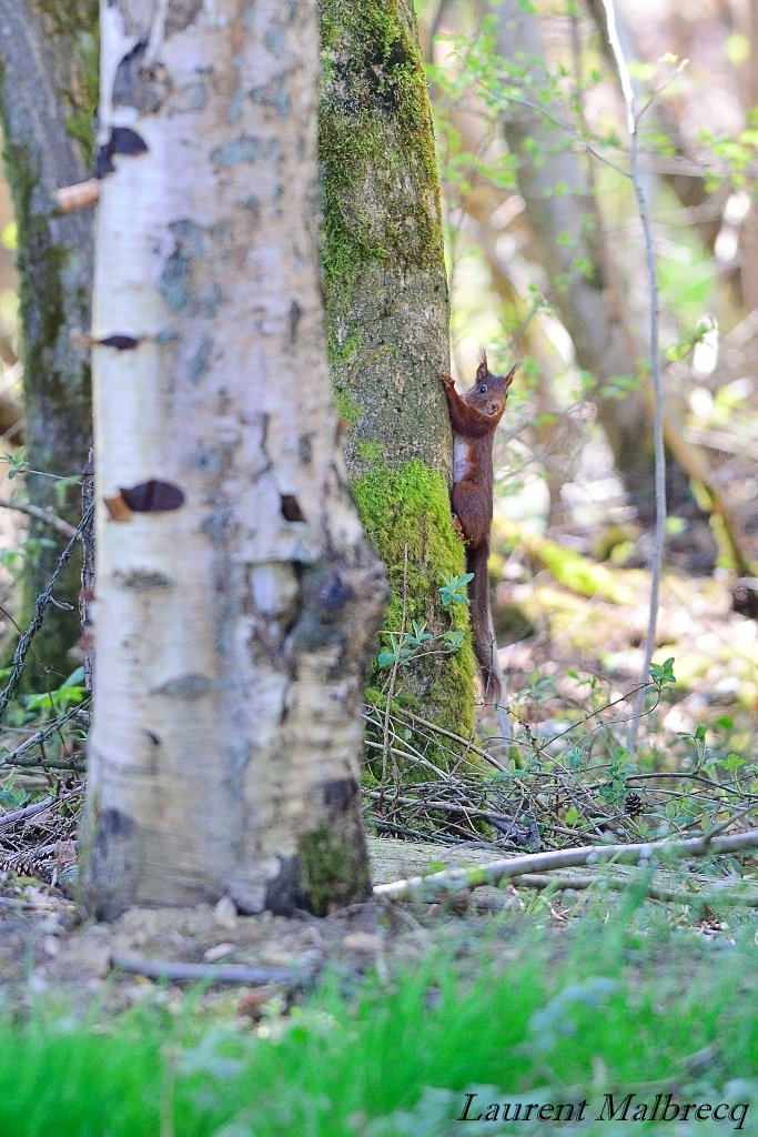 ecureuil fin avril 2