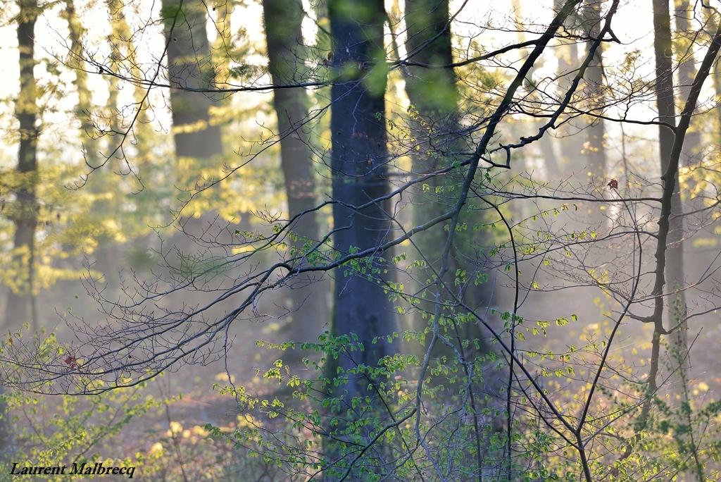 ramure de hetre dans la brume