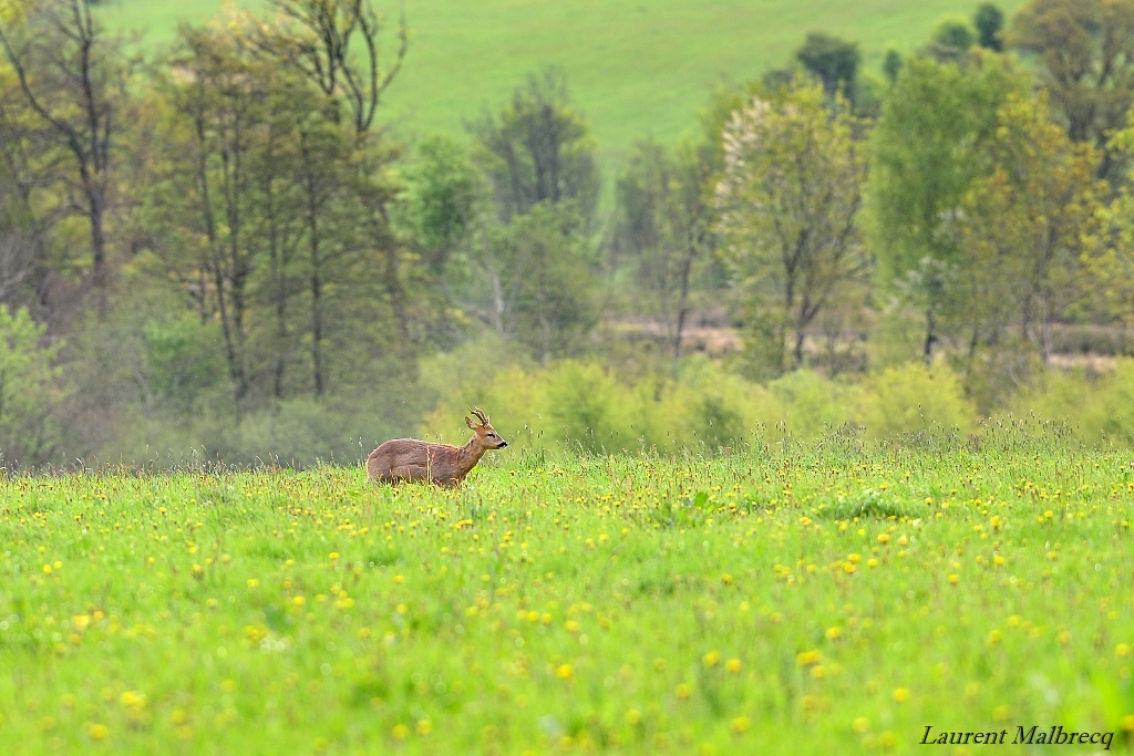 chevreuil en prairie 2