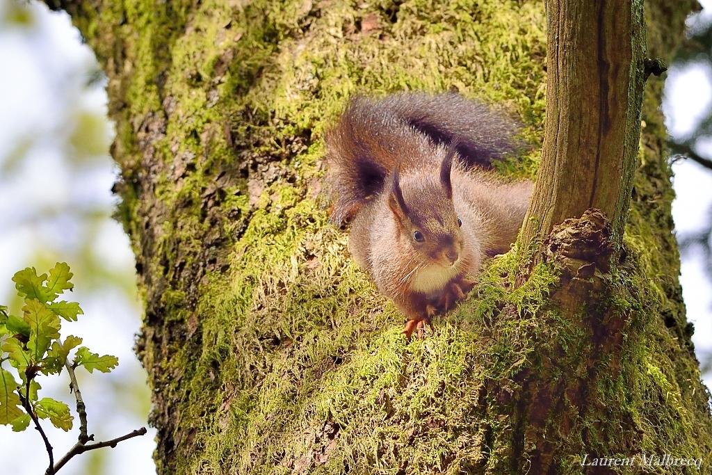 ecureuil roux en mai 1