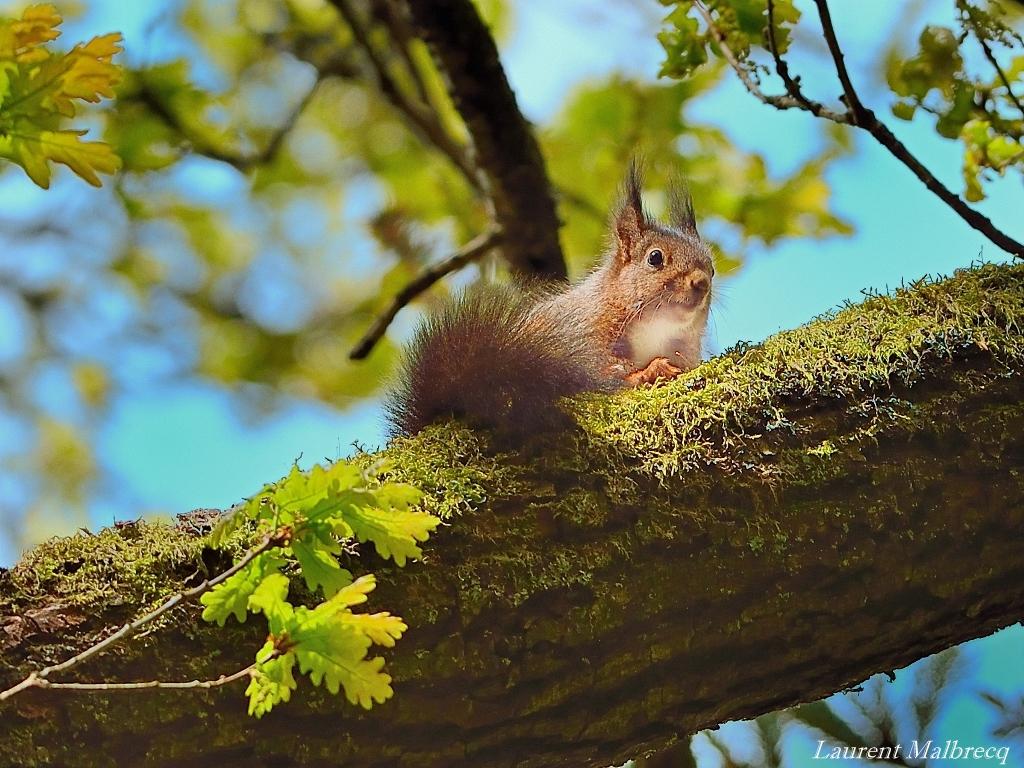 ecureuil roux en mai 2