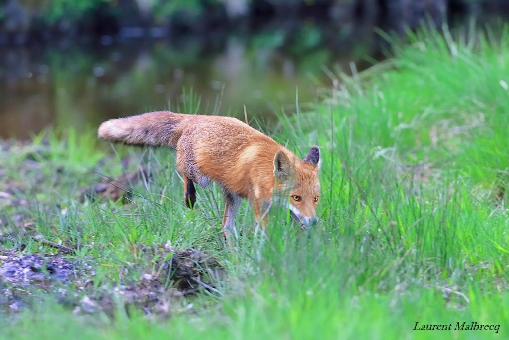 renard qui chasse