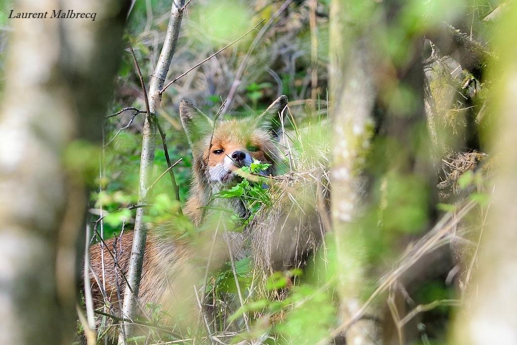 renard caché dans les buissons
