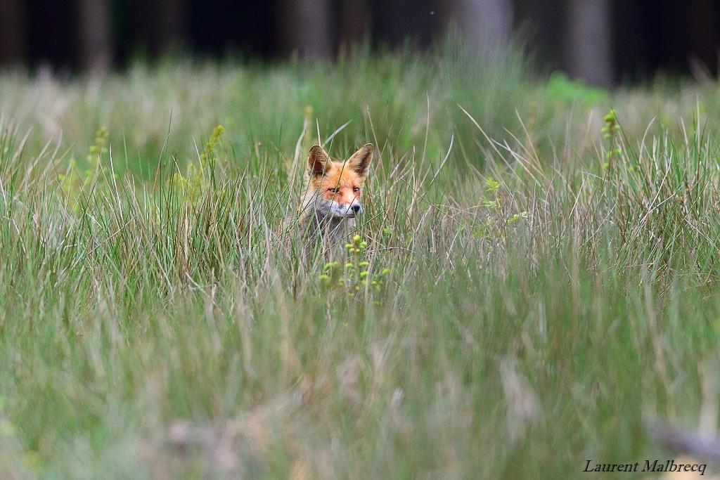 renard dans les hautes herbes
