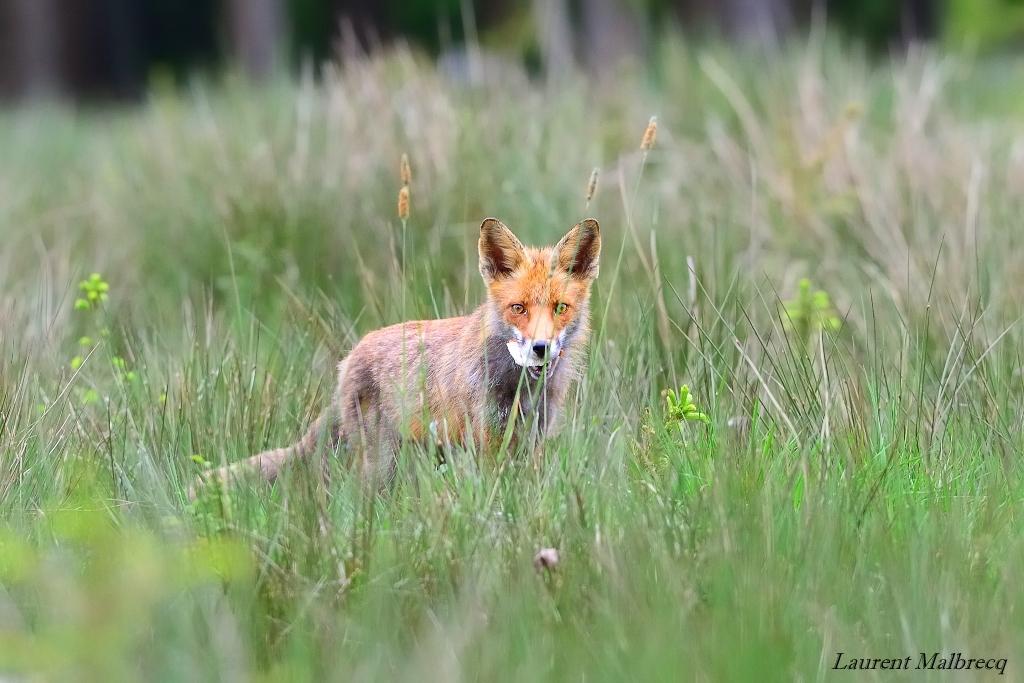 le renard et la tartine mais ou a t'il été chercher ca !