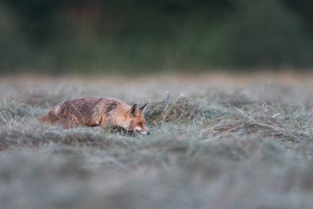 renard a la tombée du soir DX5_0120
