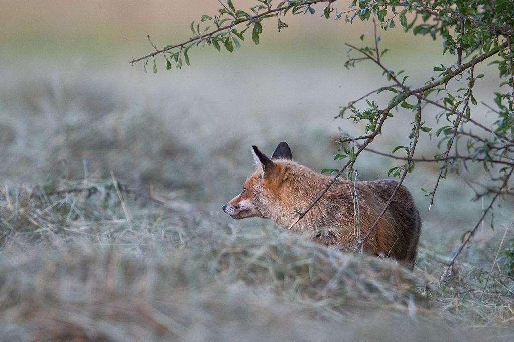 renard a la tombée du soir DX5_0128