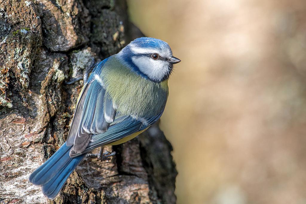 mesange bleue DX5_1570