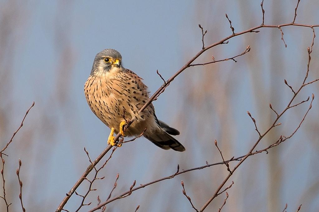 faucon créderelle mâle DX5_2360