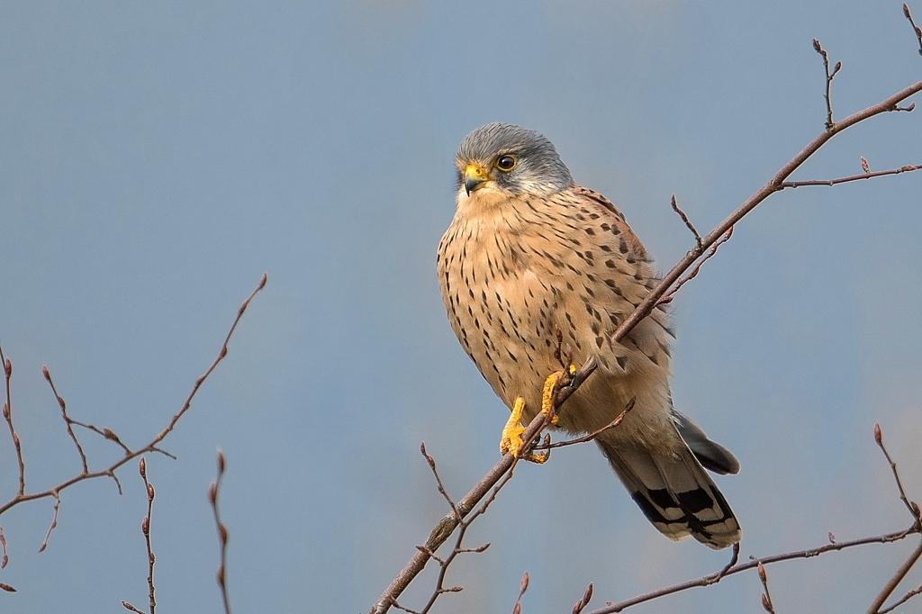 faucon créderelle mâle DX5_2397