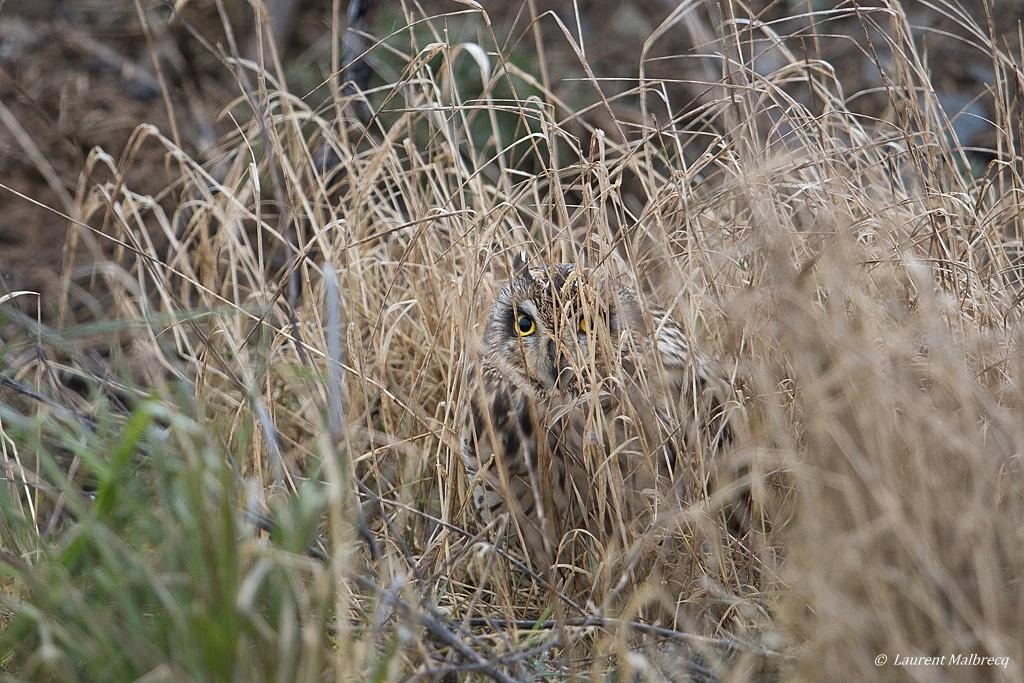 Hibou des marais DX5_2449