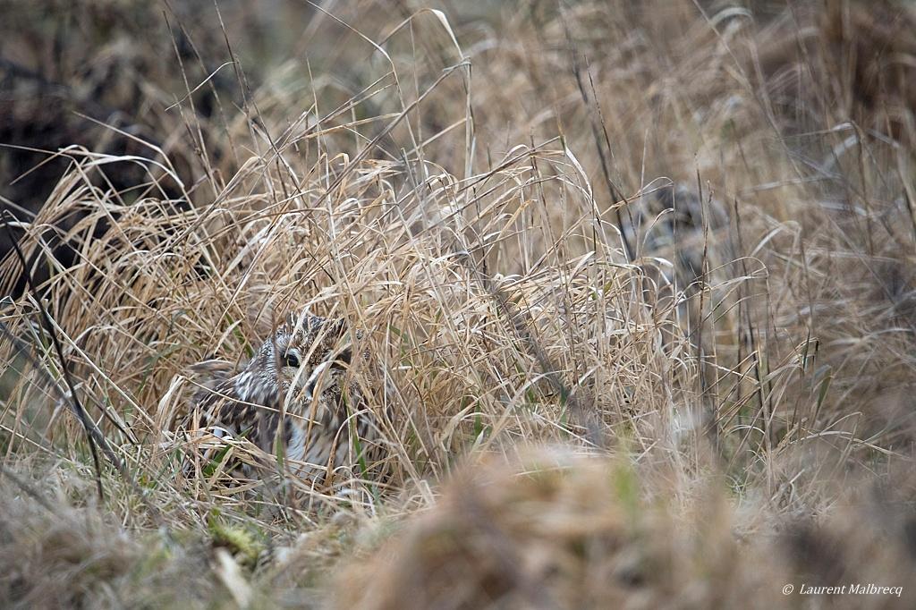 Hibou des marais DX5_2477