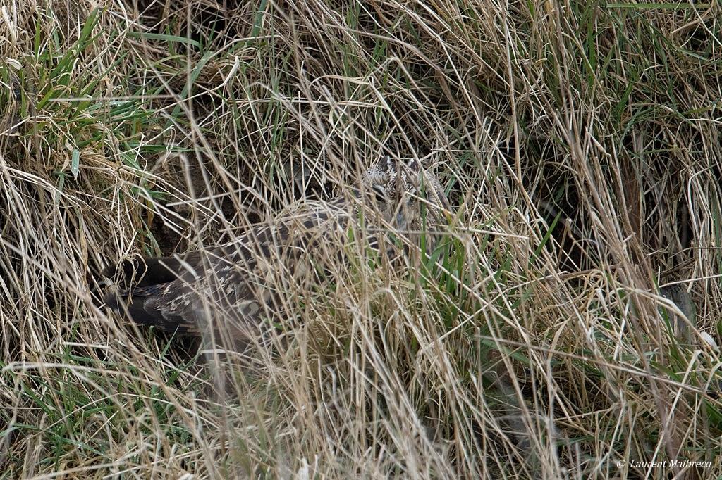 Hibou des marais DX5_2591
