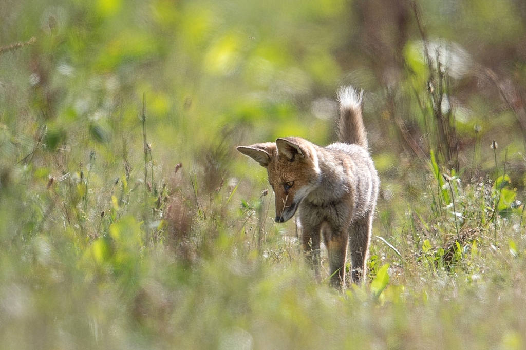 jeune renard DX5_2774