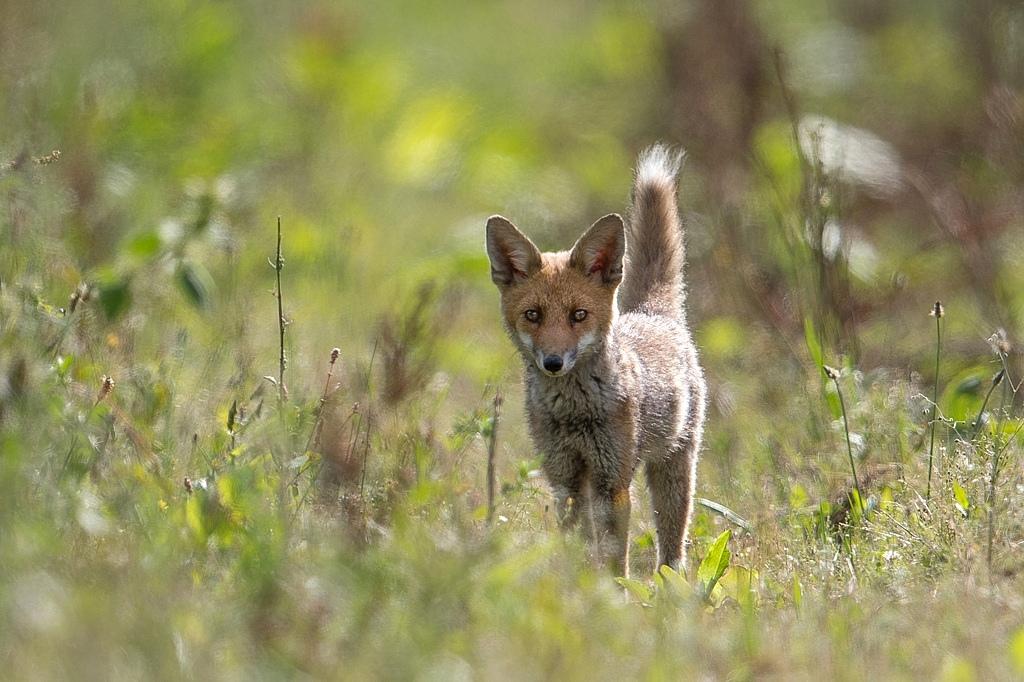 jeune renard DX5_2775