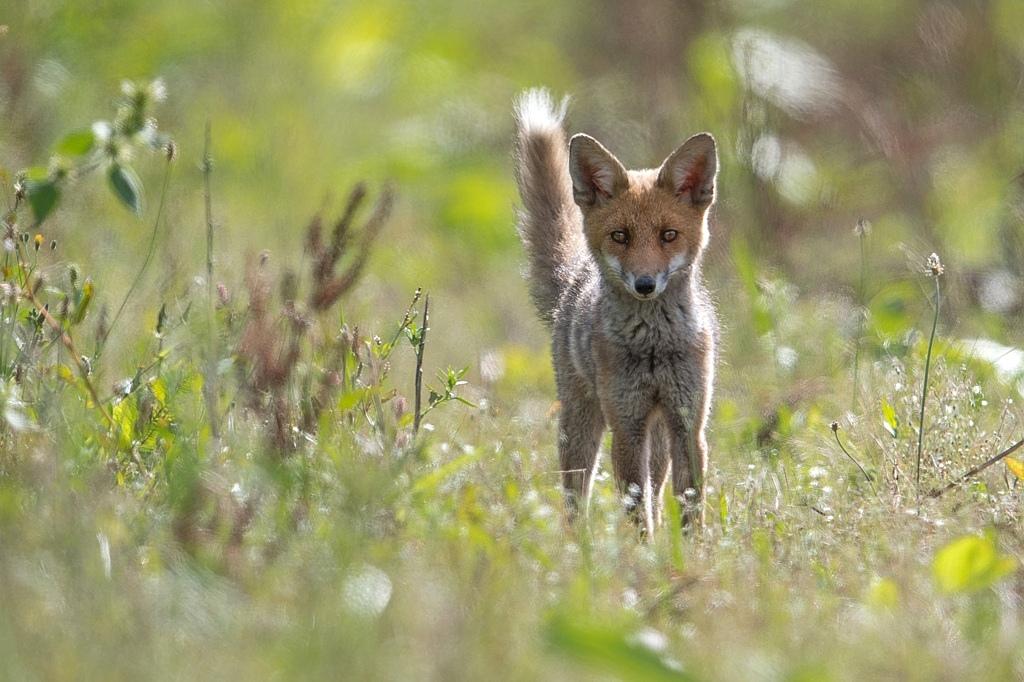 jeune renard DX5_2778
