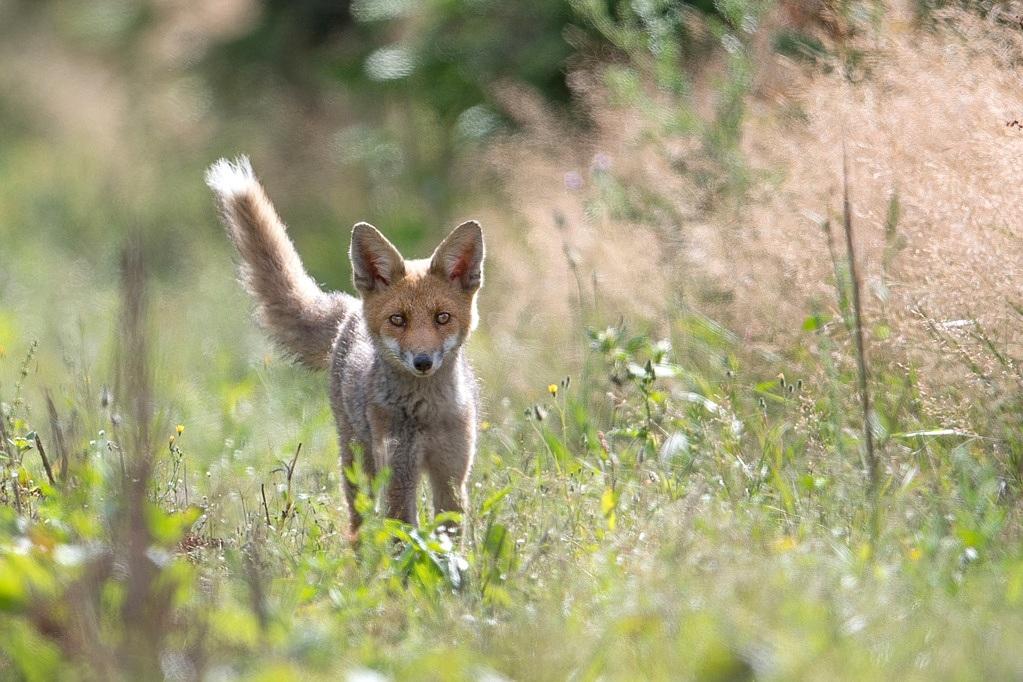 jeune renard DX5_2783