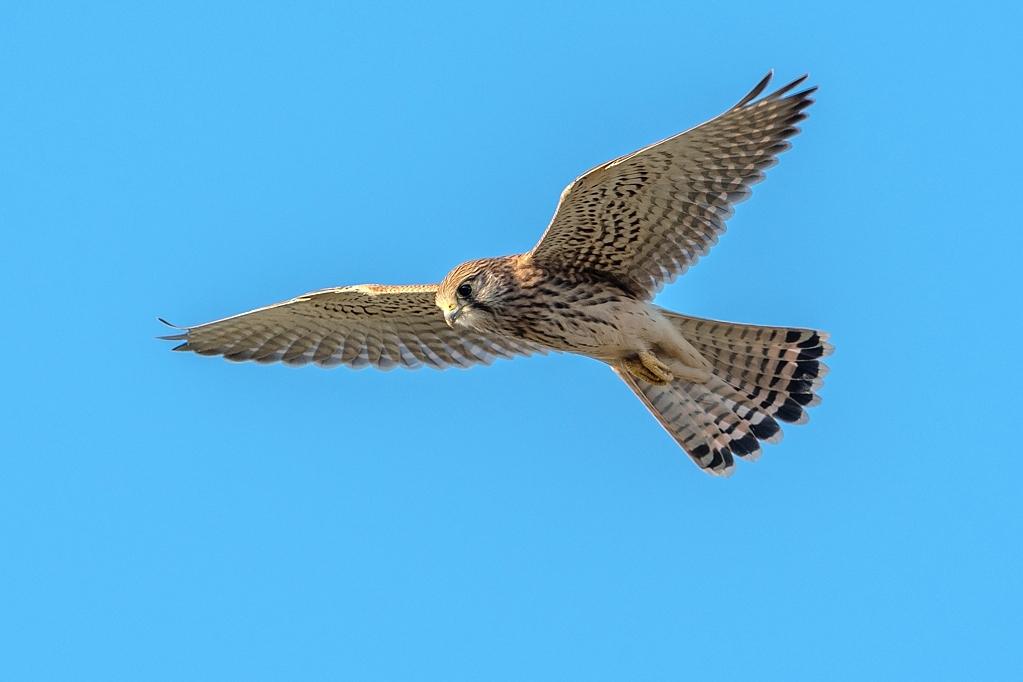 faucon crecerelle DX5_3044