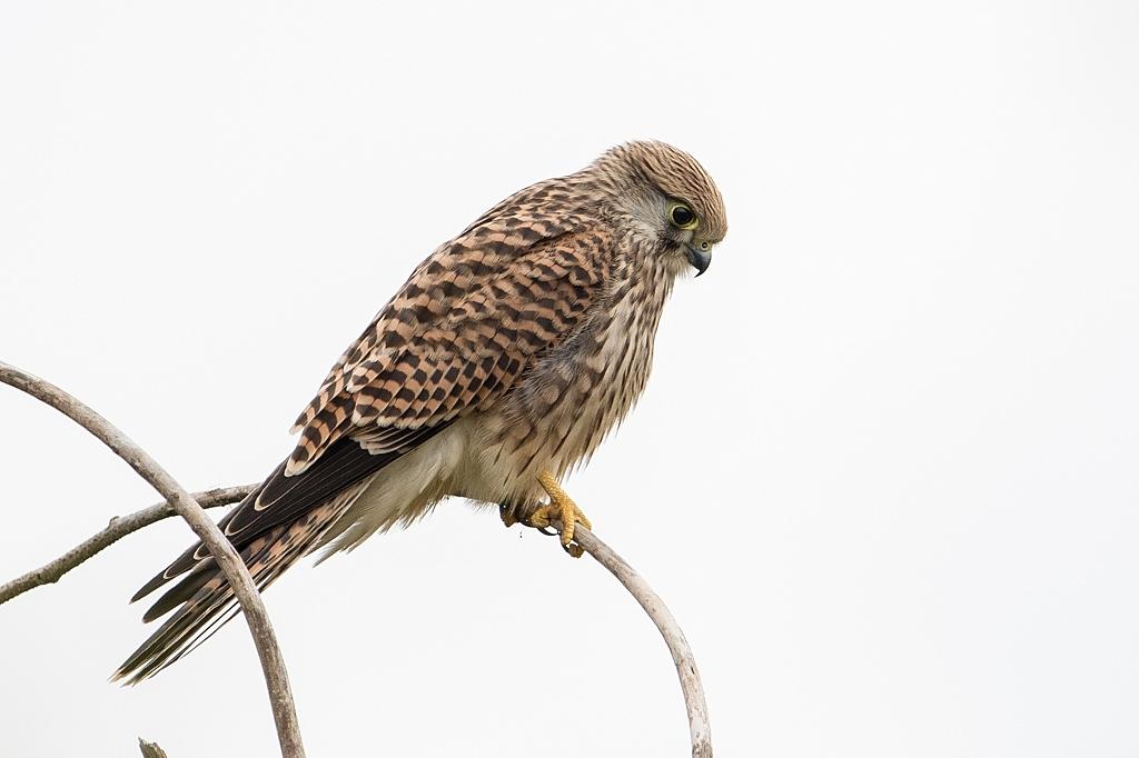 faucon crécerelle DX5_3244