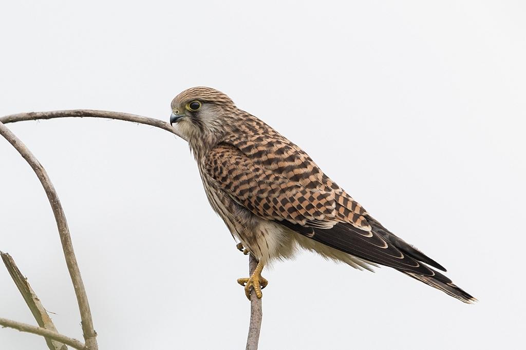 faucon crécerelle DX5_3250