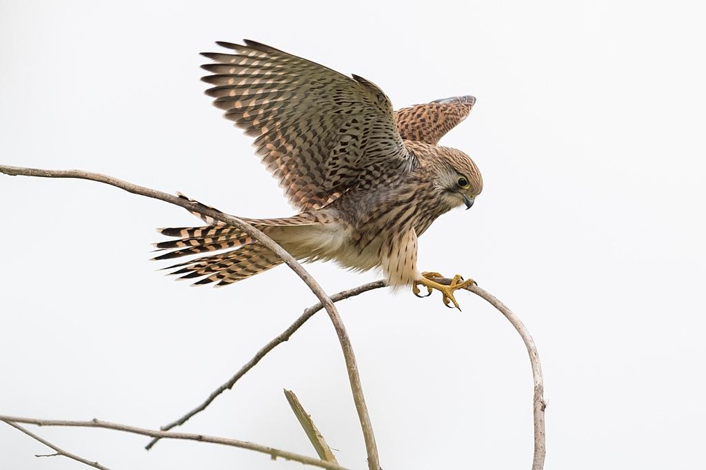 faucon crécerelle DX5_3263