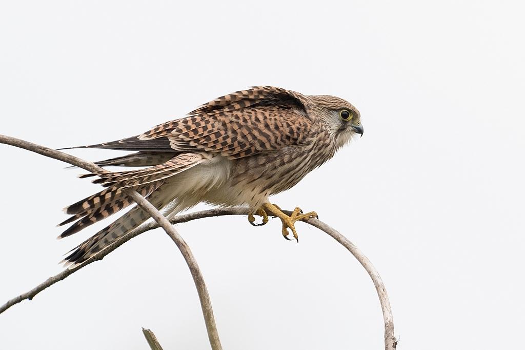 faucon crécerelle DX5_3264