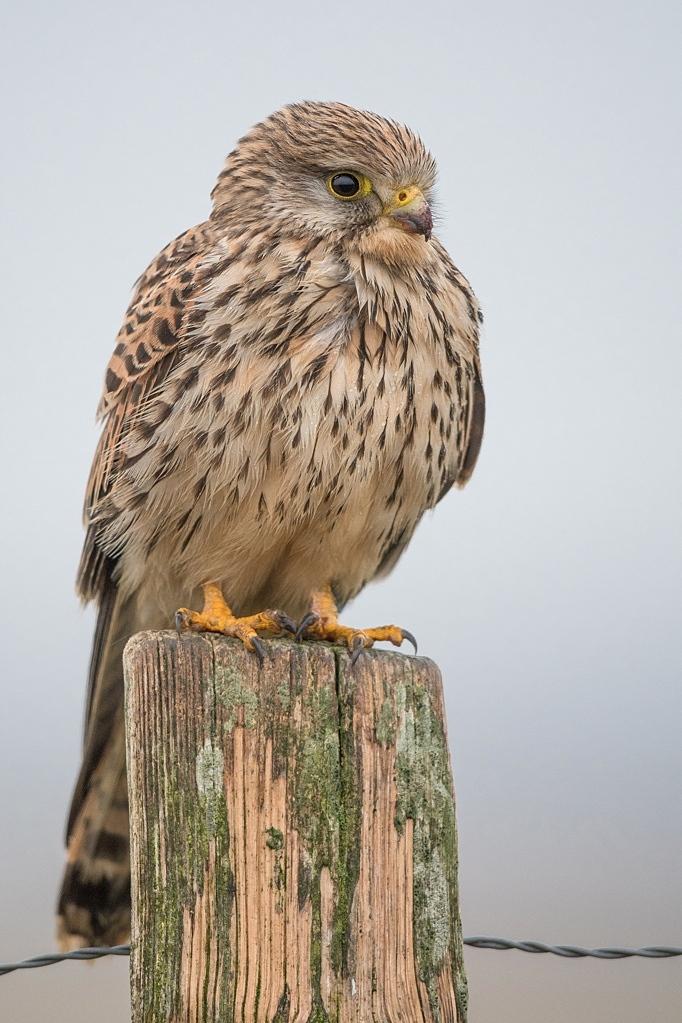 faucon crecerelle femelle DX5_3820