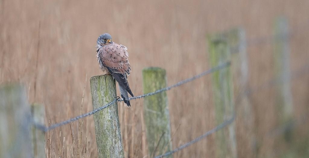 faucon crecerelle mâle DX5_3873