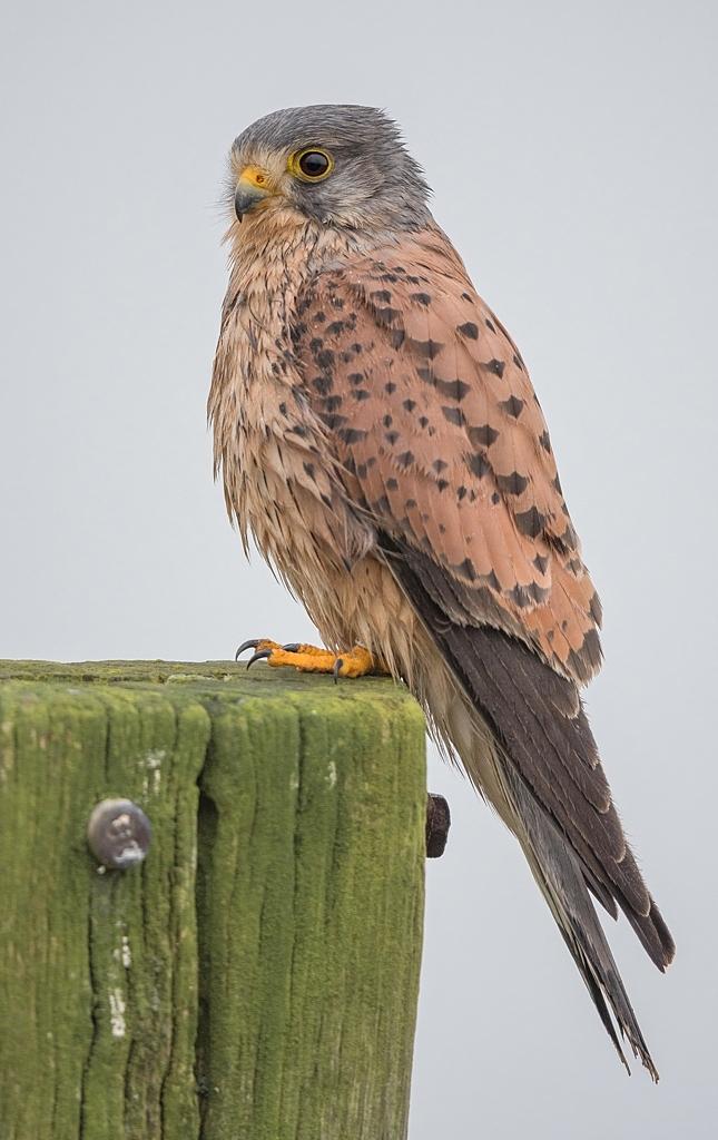 faucon crecerelle mâle DX5_3932