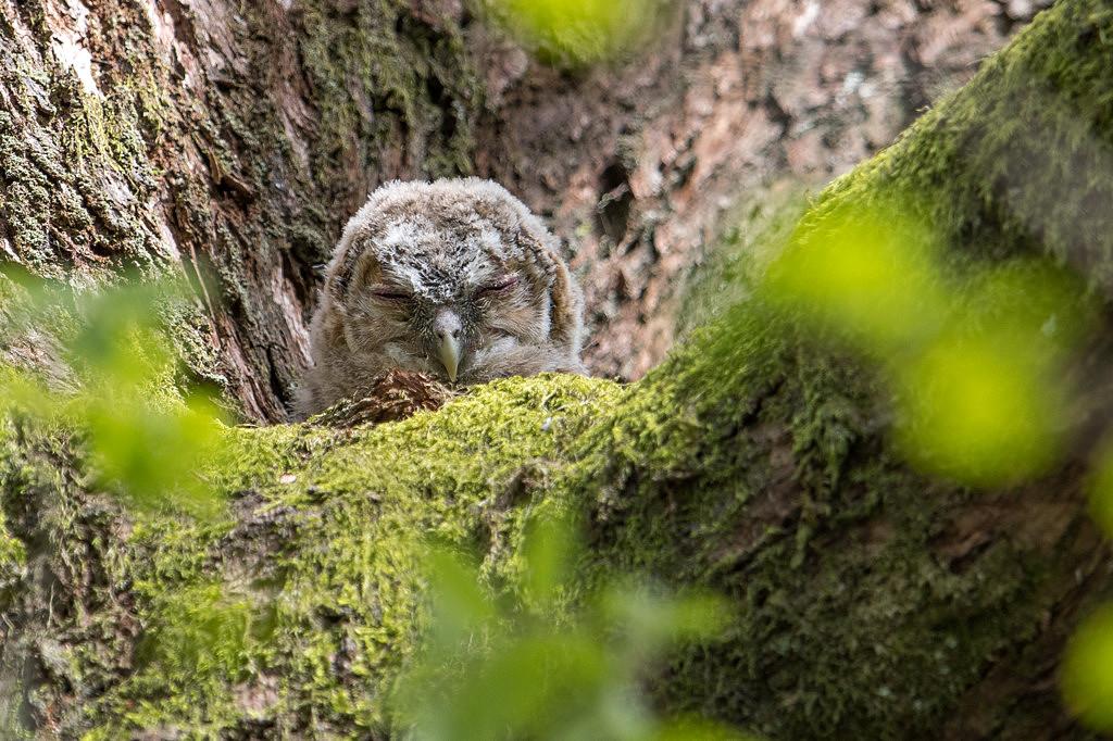 jeune hulotte juste sortie du nid DX5_4432