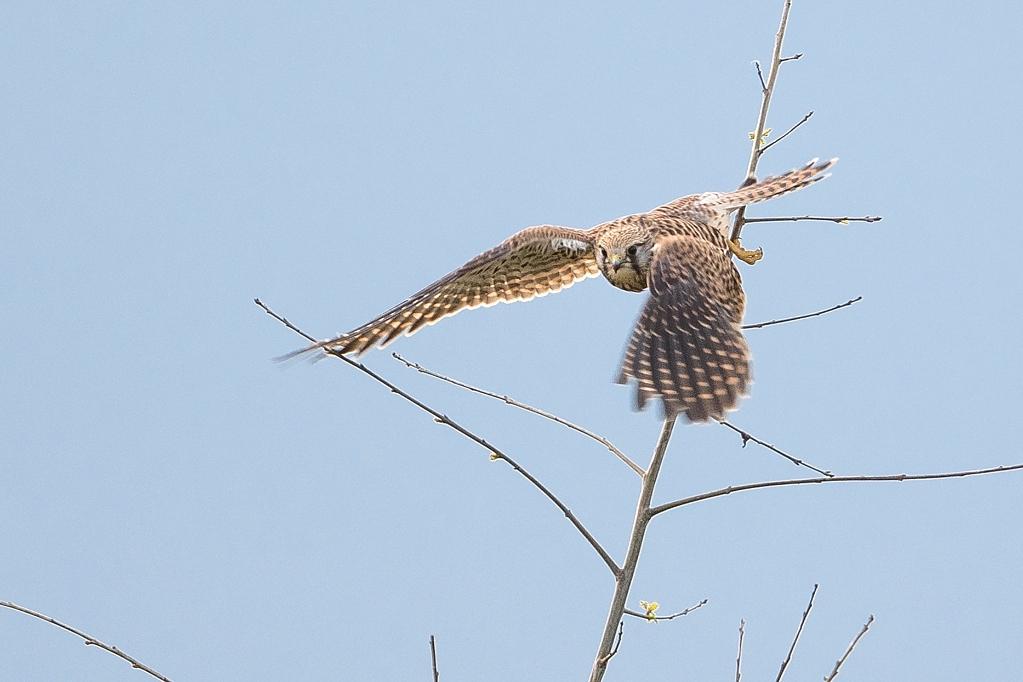 faucon crécerelle DX5_4469