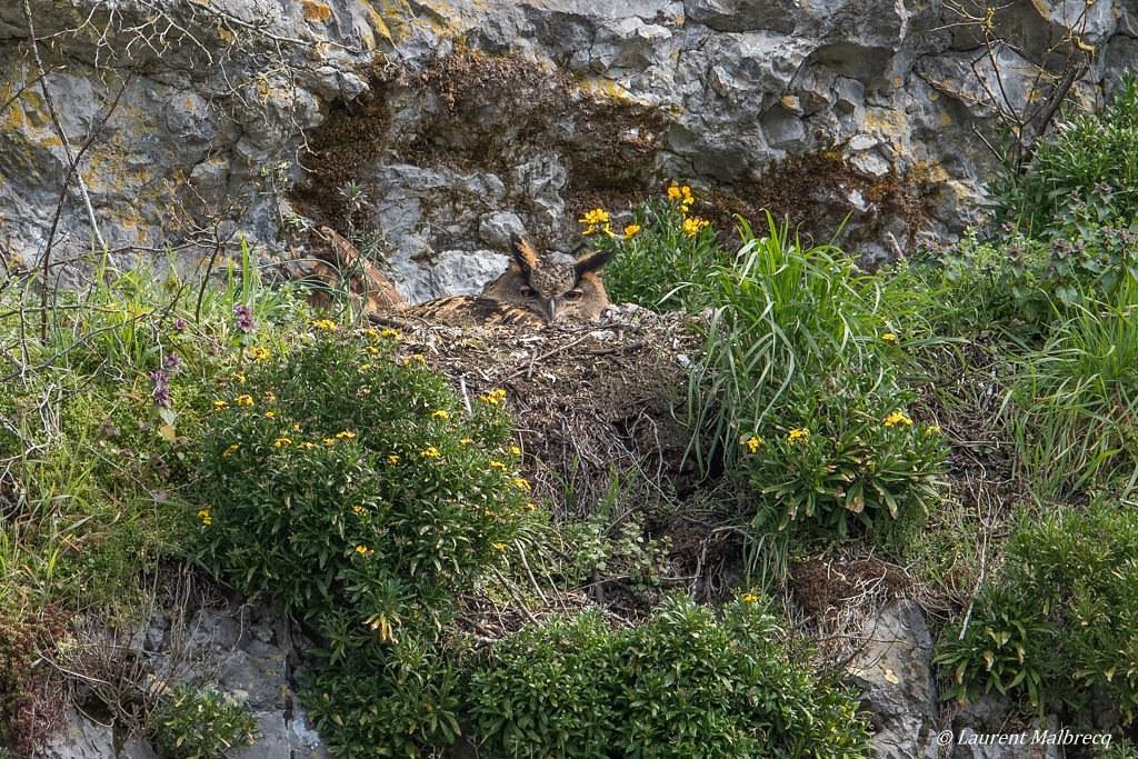 hibou grand duc sur le nid DX5_4572