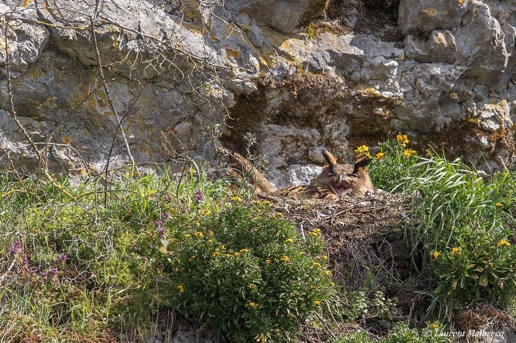 hibou grand duc sur le nid DX5_4621