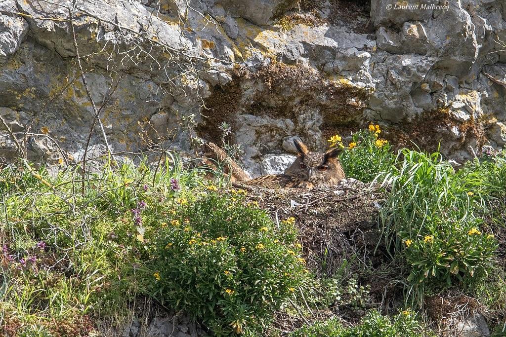 hibou grand duc sur le nid DX5_4661