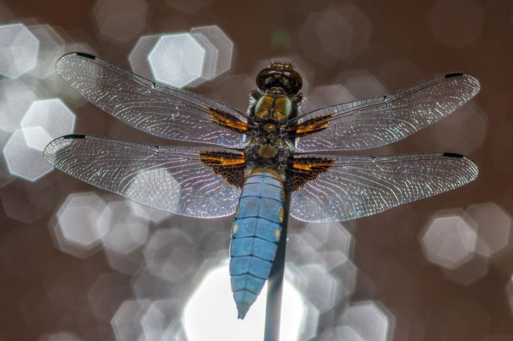 libellule déprimée  DX5_6832