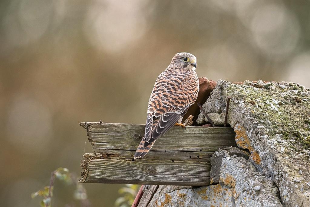 faucon crécerelle DX5_6989