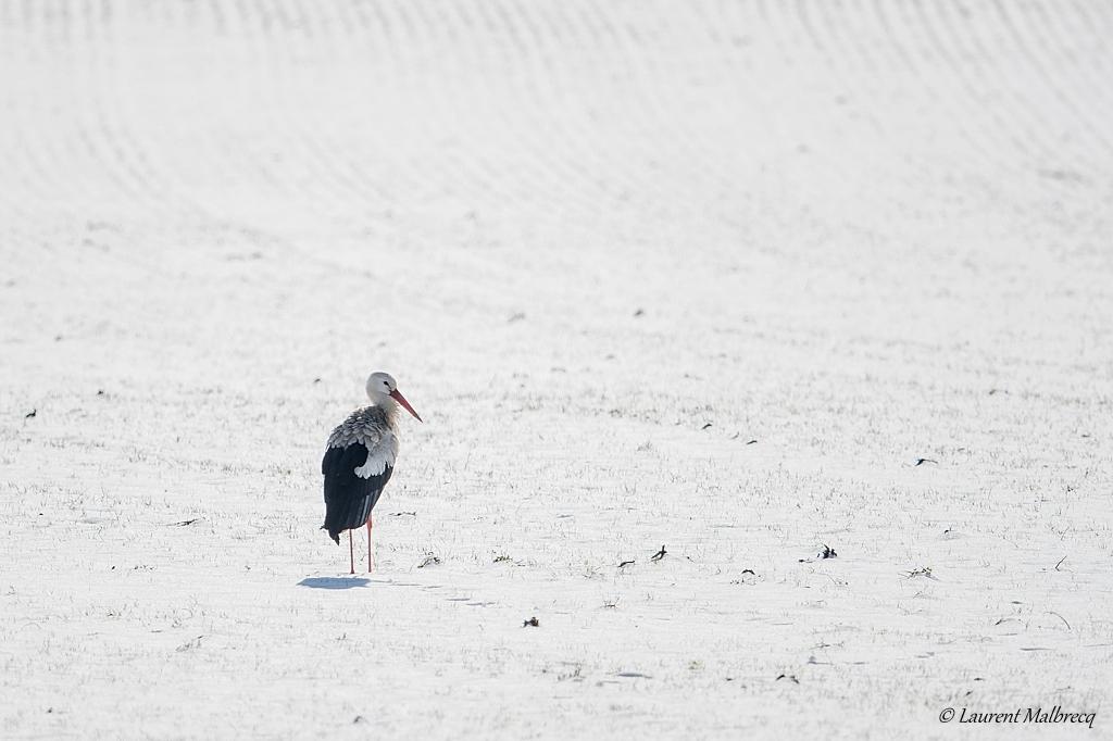 cigogne sur neige DX5_6992