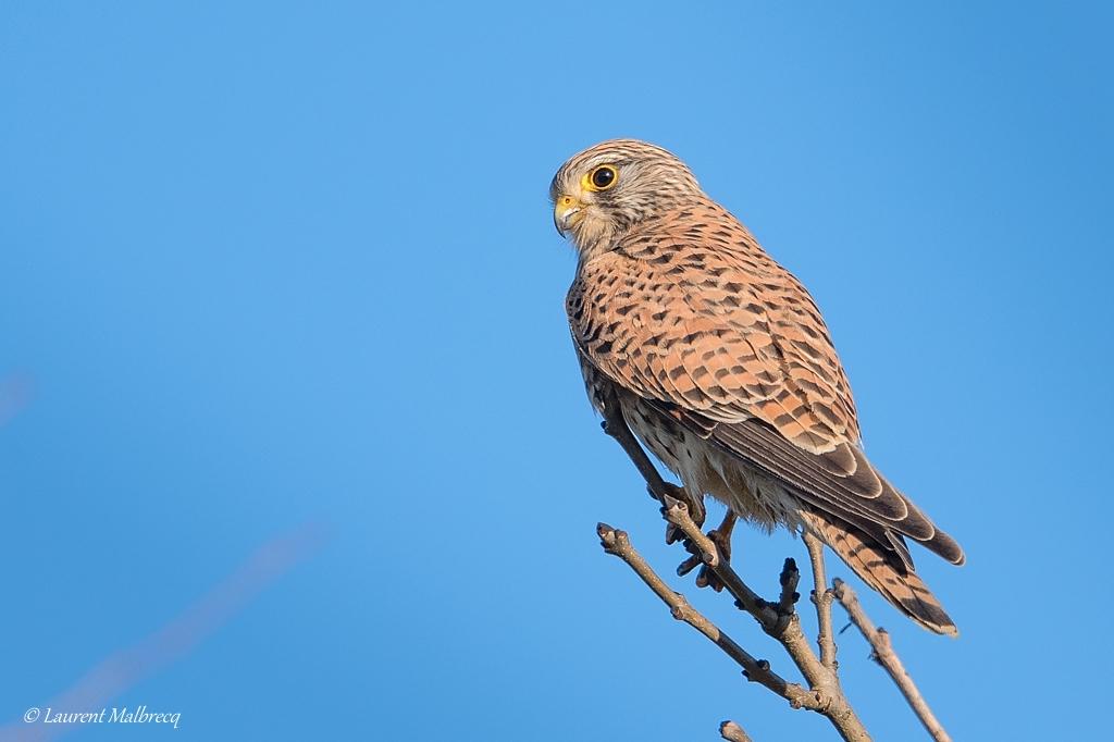 faucon crecerelle mâle DX5_7316