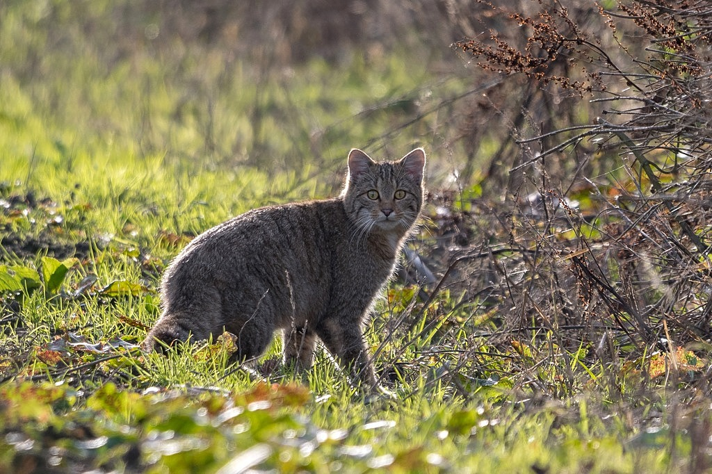 chat forestier DX5_7633