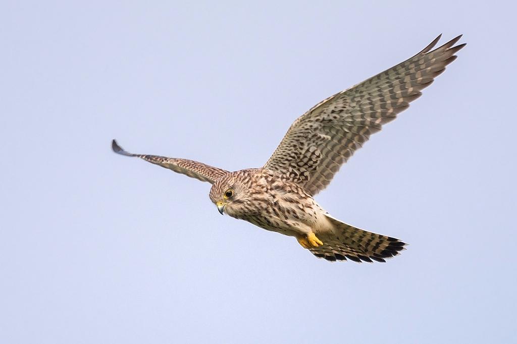 faucon crécerelle femelle DX5_7728
