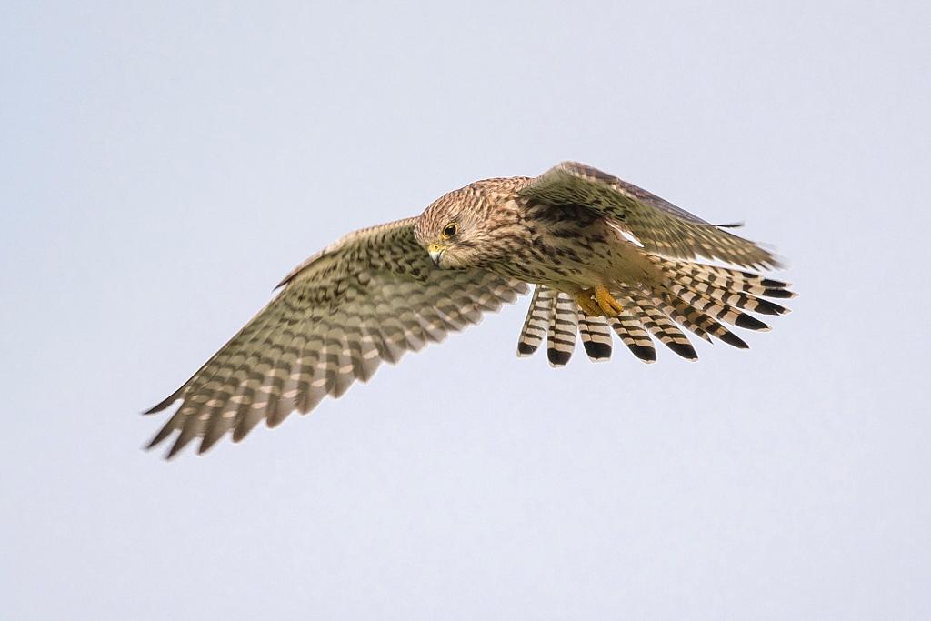 faucon crécerelle femelle DX5_7735