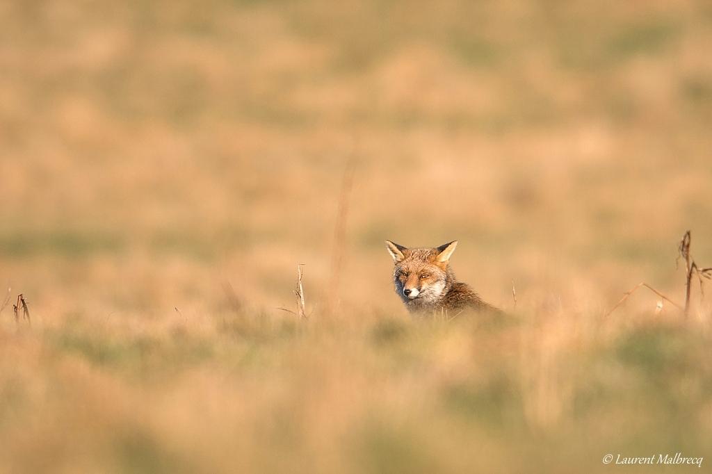 renard roux DX5_8090