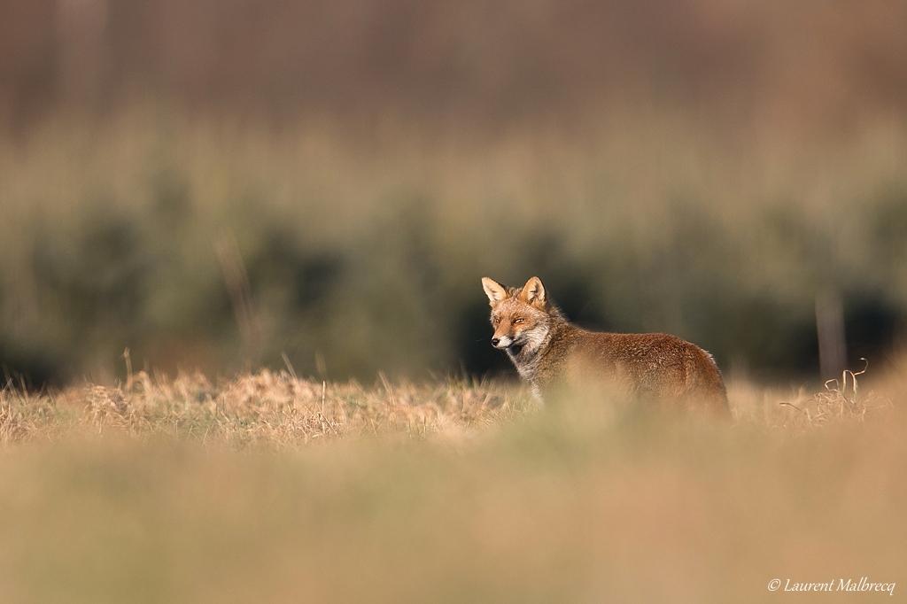 renard roux DX5_8111