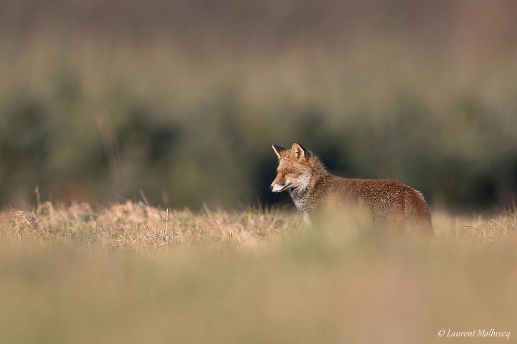 renard roux DX5_8112
