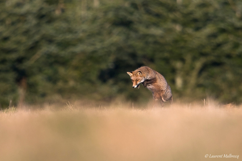 renard roux DX5_8119