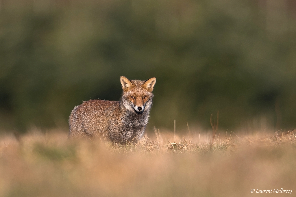 renard roux DX5_8146