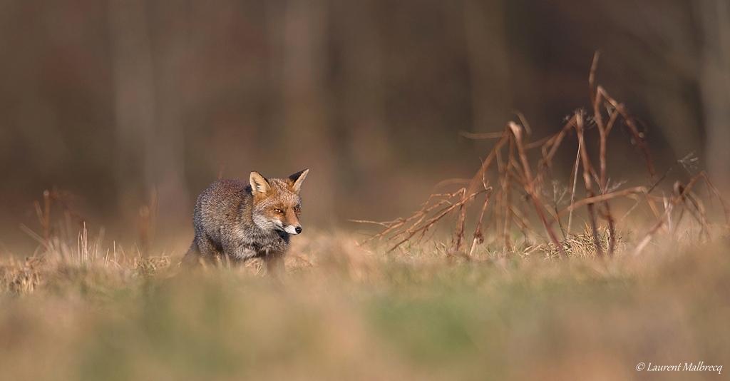 renard roux DX5_8148