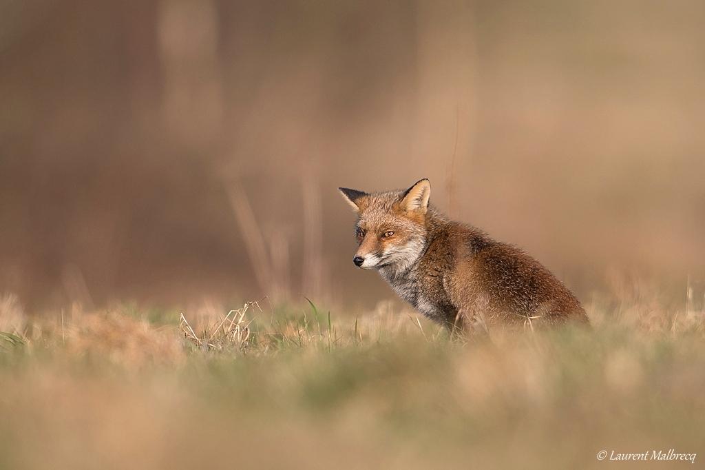 renard roux DX5_8158