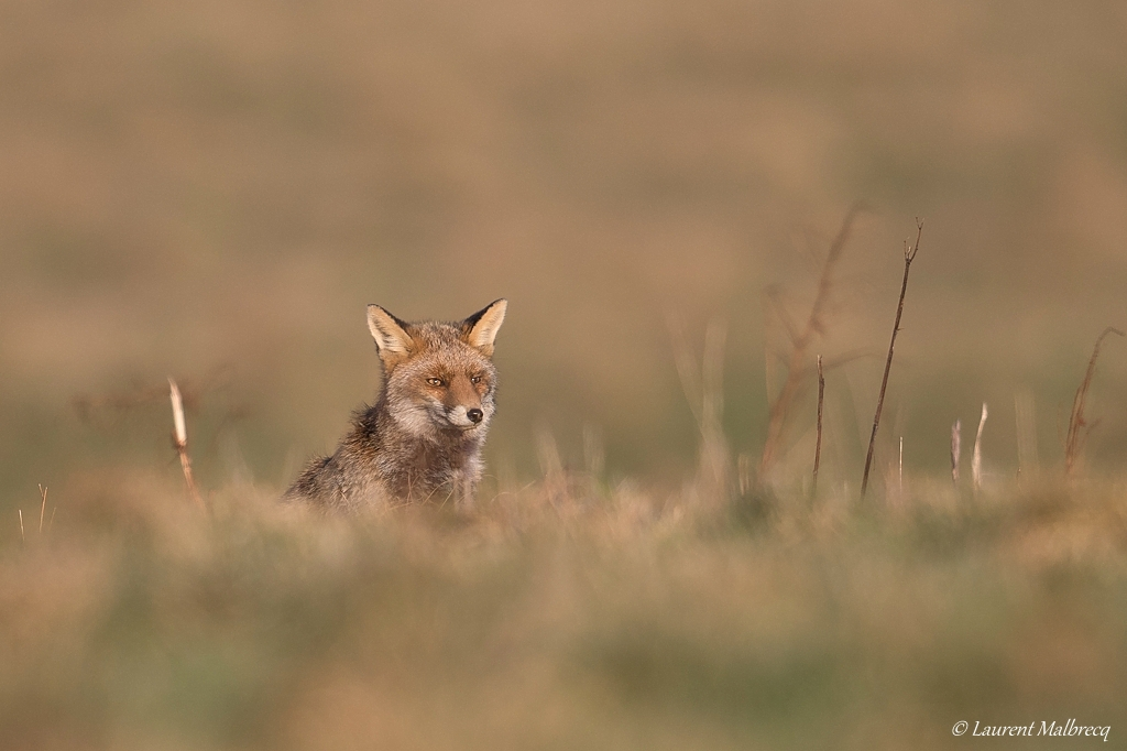 renard roux DX5_8175