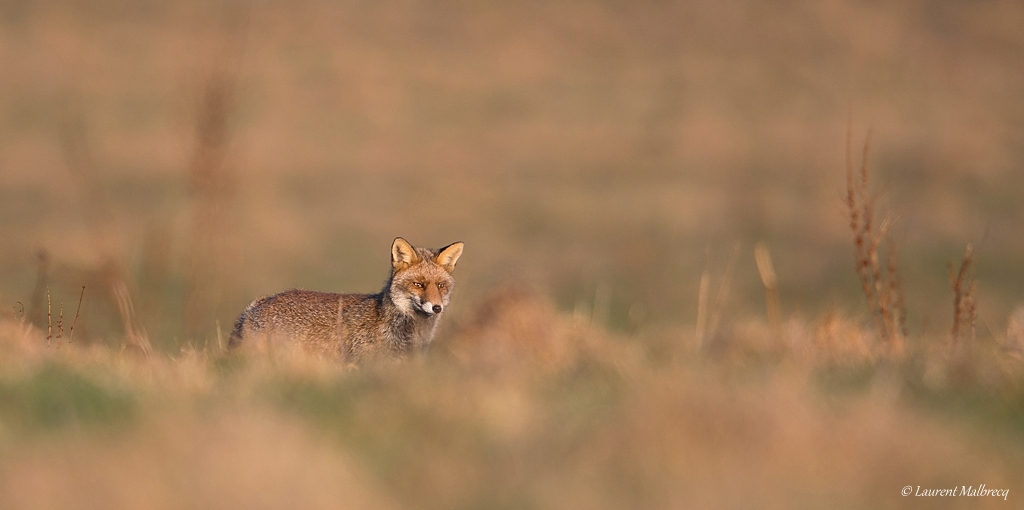 renard roux DX5_8186
